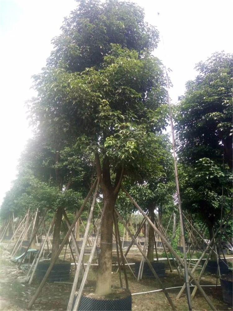 秋枫园林绿化工程苗木福建基地直销