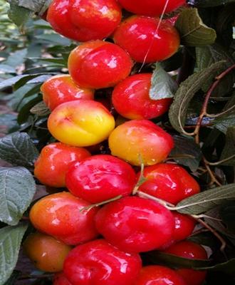 钙果新品种农大八号有啥优点旺运苗木和你说