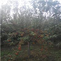 西府海棠的价格旺运苗木低