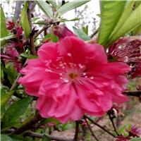龙珠碧桃花色多有红花白花价格偏高