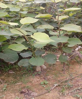 黄心的猕猴桃苗种植基地在河南多