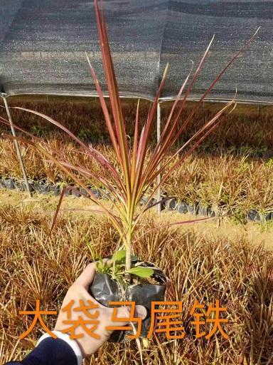 产地直销供应观赏盆栽植物大袋马尾铁