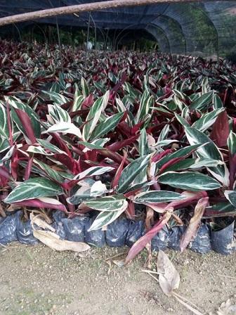漳州基地大量特价供应常绿工程苗木七彩竹芋