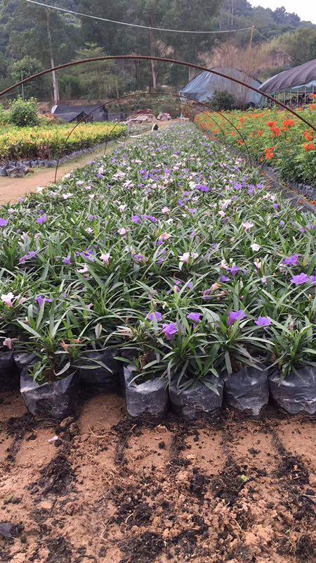 漳州基地大量供应优质矮生植物蓝花莉