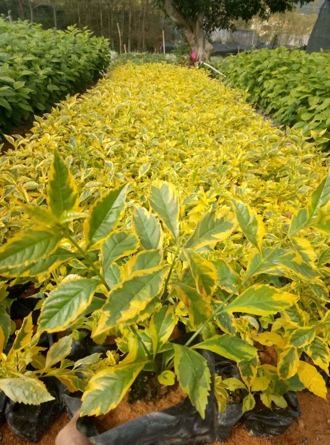 大量批发供应园林景观常绿地被金边假连翘