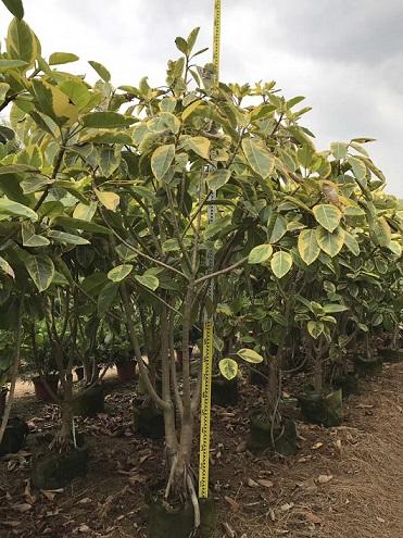多规格大量供应园林景观绿化树丛生富贵榕