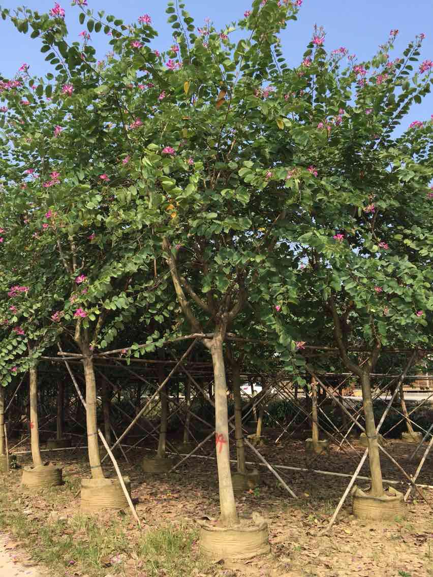 长期批发供应工程绿化景观树红花紫荆