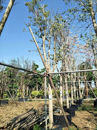 常年大量供应园林景观工程树宫粉紫荆