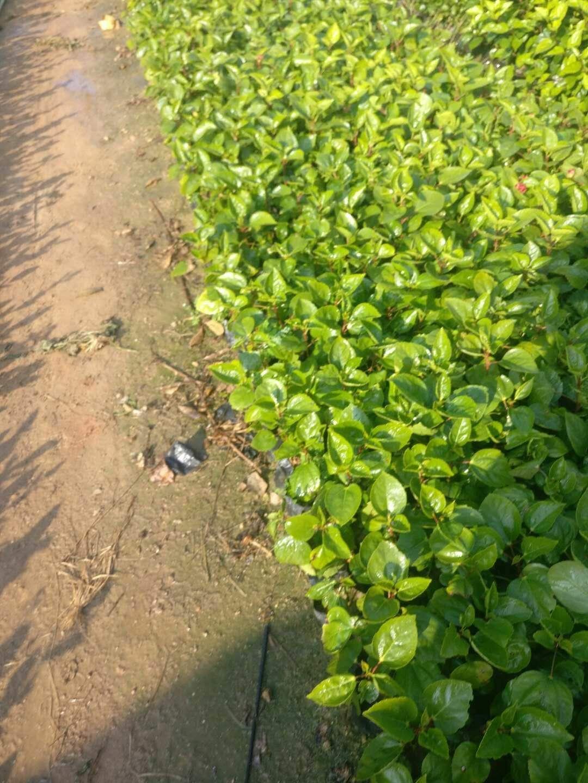 大量供应园林常绿护坡地被植物重瓣扶桑