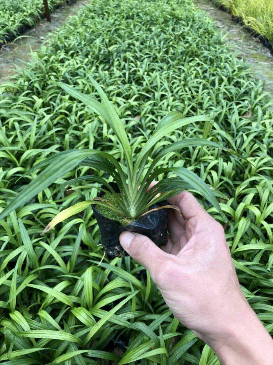 常年大量批发供应常绿护坡地被吉祥草袋苗