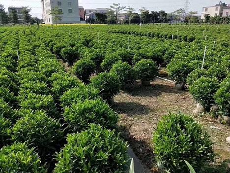 供应多规格园林美观常绿植物非洲茉莉球