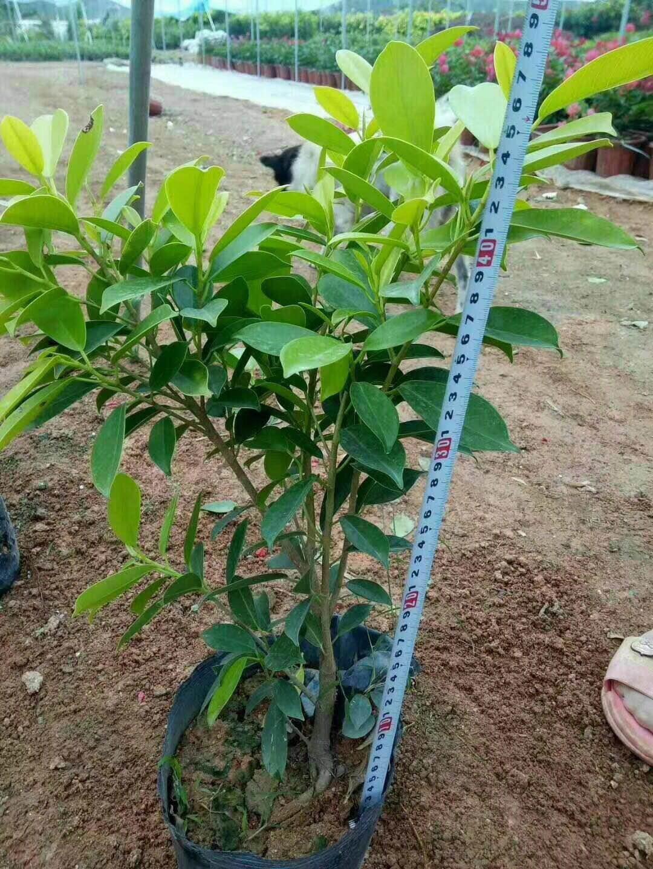 农户供应优质盆栽地栽常绿植物黄金榕袋苗
