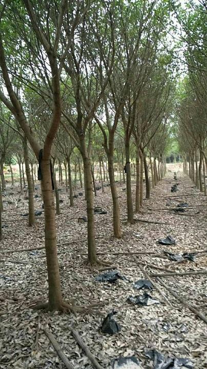 特价批发供应园林工程常绿乔木红皮榕