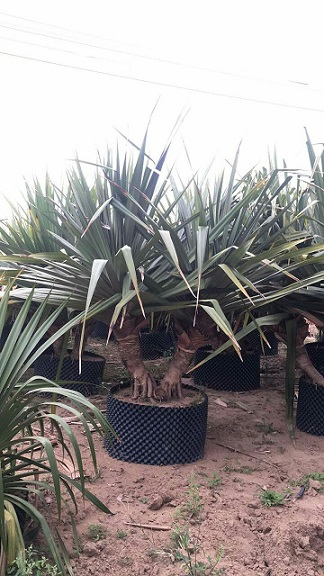 农户直销精品大型盆栽绿植红刺林投