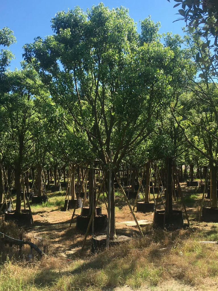 福清市苗木种植基地特价供应精品香樟