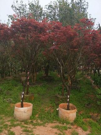 基地供应规格齐全精品景观绿化树红枫