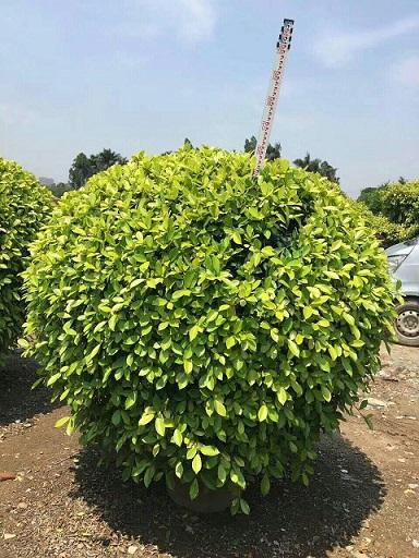 观赏植物树黄金榕球产地直销供应