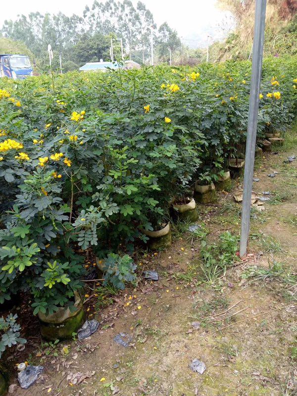 直销供应会开花观赏灌木黄花双荚槐