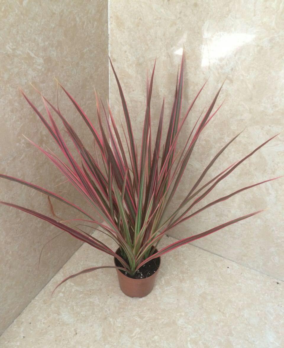 室内桌面盆栽观赏植物七彩马尾铁