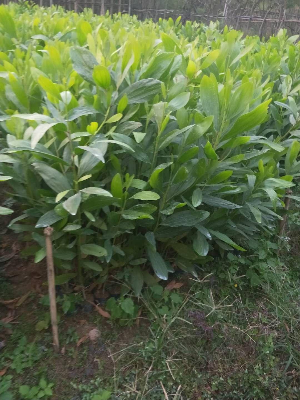 常年大量供应常绿灌木植物大叶相思