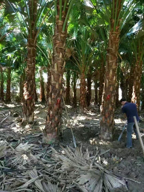 热带风景绿化树高杆蒲葵多规格供应