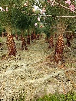 精品热带风景绿化树加拿利海枣特价供应