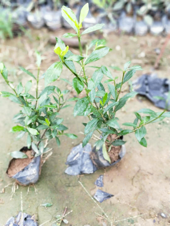 小叶栀子介绍 福建品种好的小叶栀子