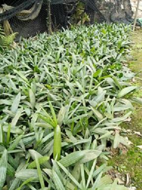 细叶棕竹首推榕翔苗木场 优惠的细叶棕竹
