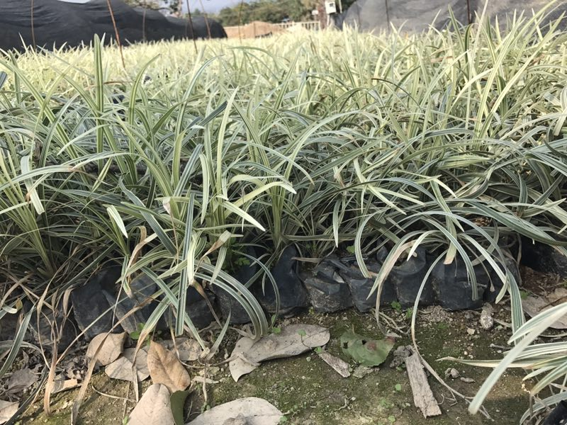 厂家直销的漳州绿化苗木金边沿阶草