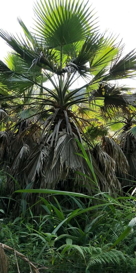 大型景观树华棕  物美价廉华棕特价供应