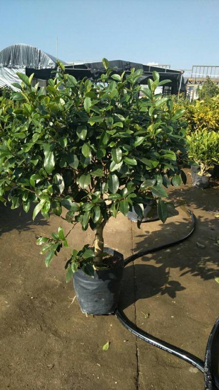 含笑盆栽植物特价供应 漳州基地有售