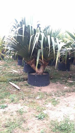 大型盆栽庭院公园观赏植物红刺林投
