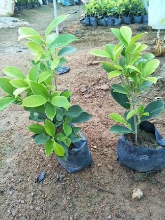 直销供应园林广泛常绿植物黄金榕袋苗