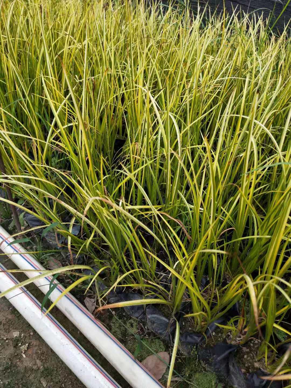 优质常绿水生植物金叶石菖蒲大量供应