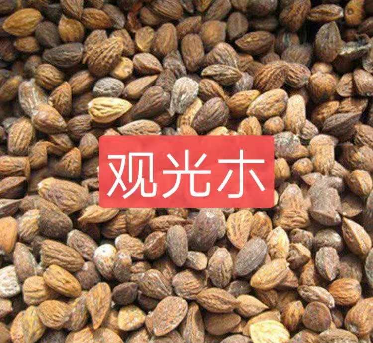 观光木种子价格优惠大量批发