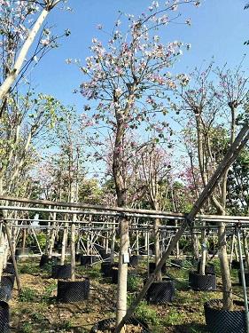 树身可达7米景区行道风景绿化树宫粉紫荆