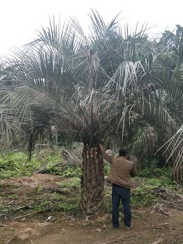 园林绿化可盆栽大型景观绿化树布迪椰子