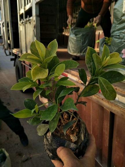 行道常绿造景灌木黄金榕袋苗 漳州有售