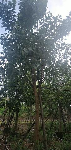 树形高大景观绿化树菩提榕 物美价廉菩提榕
