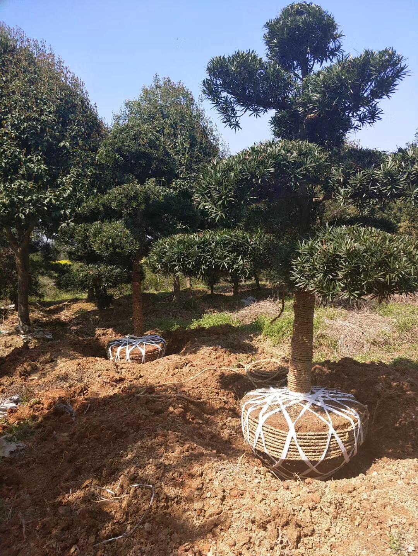 精品景观绿化树罗汉松 多规格特价供应