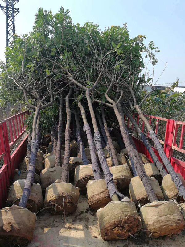 优质常绿乔木黄花槐 漳州基地多规格供应