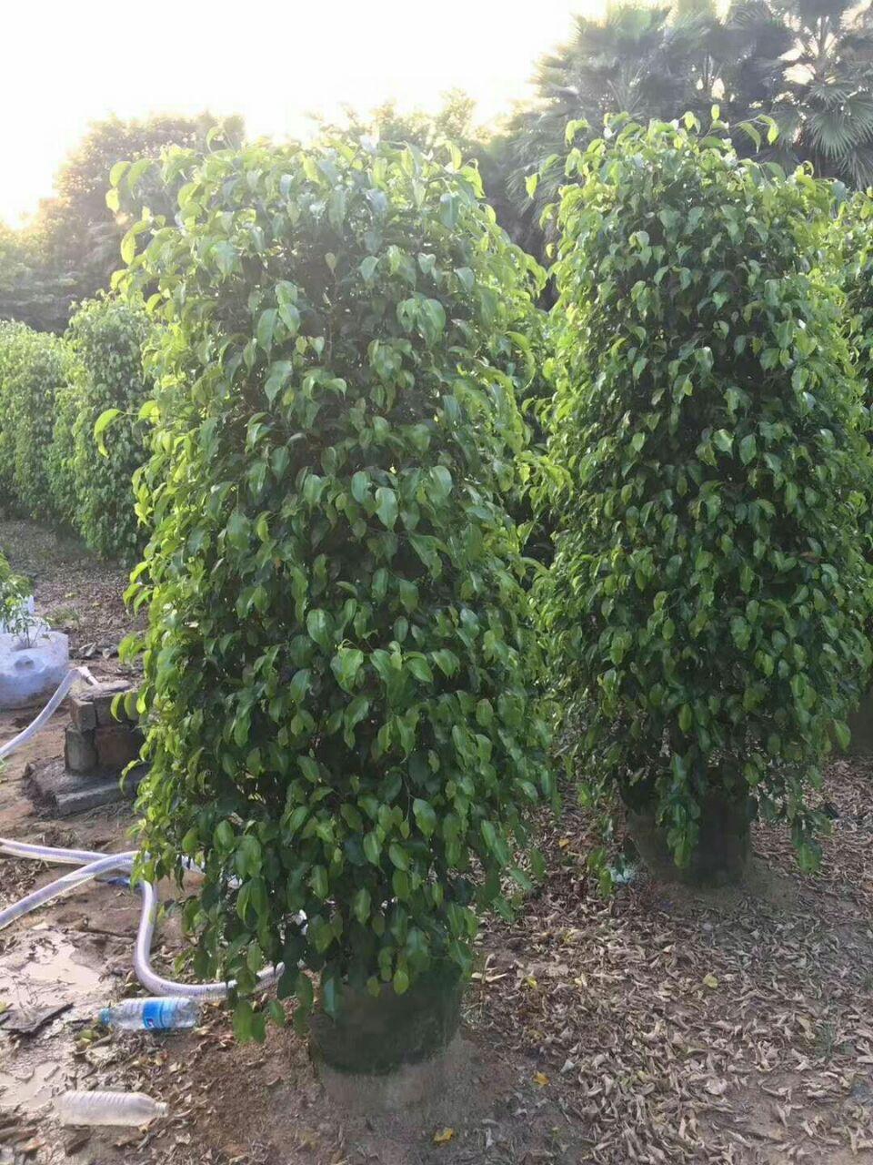 净化空气盆栽绿化常绿小乔木垂叶榕