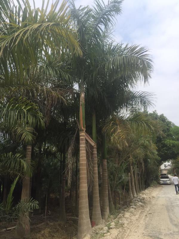 行道景观绿化树大王椰子 多规格特价供应