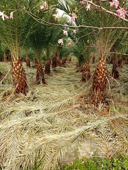 精品热带风景绿化树加拿利海枣 价格实惠