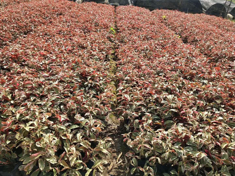 彩叶护坡地被绿化植物红背桂 量大从优