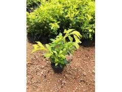 优质常绿地被植物黄金叶 物美价廉黄金叶