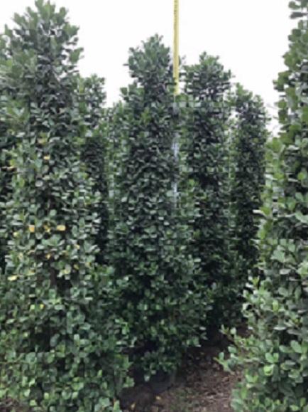 耐修剪绿化庭院植物树火山榕 物美价廉
