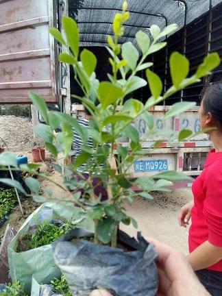 易种植园林常用绿化地被植物七里香