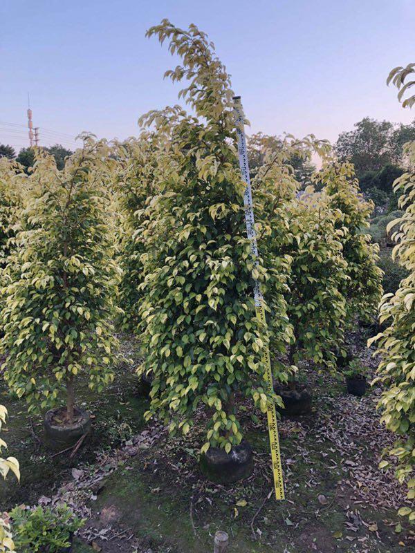 庭园造景盆栽绿化树黄金垂榕 价格实惠