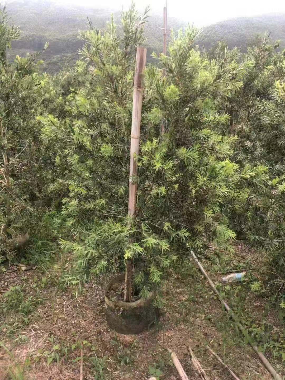 出售耐修剪盆栽高温绿化植物美花红千层